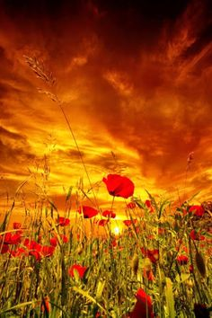 Campo de amapolas y la puesta de sol.(Poppy field at Sunset).