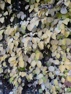 Hydrangea Petiolaris, Hydrangea Paniculata, Hortensia Hydrangea, 2013, Nature, Gifts, Gardens, Hydrangeas, Blonde Color