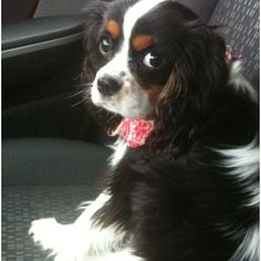 Tri color Cavalier King Charles Spaniel Puppy - Those eyes!