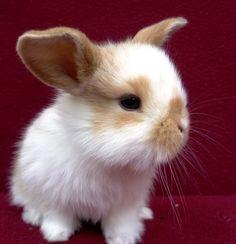 Mini lop X baby bunny