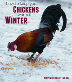 how to keep chickens warm