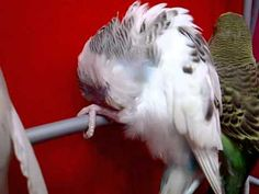 Budgie bird cleans itself - YouTube