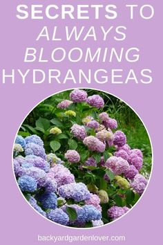 hydrangea garden care How To Care For Hydrangea Plants amp; Bushes - Tips For Gorgeous Hydrangeas Hydrangea Bloom, Hydrangea Colors, Hydrangea Care, Hydrangea Not Blooming, Hydrangea Flower, Blooming Flowers, Garden Care, Flowers Perennials, Planting Flowers