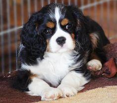 Black Tri Cavalier puppy <3