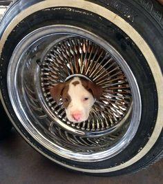 Um filhote de cachorro ficou com a cabeça presa em uma roda de carro em Kern County, na Califórnia, Estados Unidos. Segundo um porta-voz do Departamento de Bombeiros, dois homens tiveram de usar óleo vegetal para desentalar a cabeça do cãozinho Junior, que então voltou para seu dono
