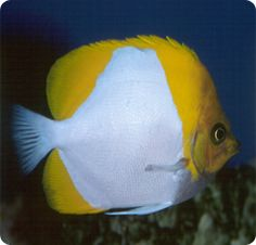 Pyramid Butterflyfish - Hemitaurichthys polylepis is a planktivore, peaceful butterflyfish that lives in Central Pacific, Hawaii, Indo-Pacific. Saltwater Aquarium Fish, Discus Fish, Cool Fish, Underwater Creatures, Fish Tanks, Corals, Ocean Life, Beautiful, Fish