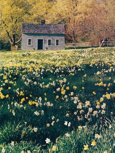 the years of autumn planting, and winter waiting, become springs filled with daffodils. a sea of beautiful gold and white daffodils. Cabins And Cottages, Felder, Cabins In The Woods, Mellow Yellow, Country Life, Country Living, Daffodils, Old Houses, The Great Outdoors