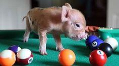 UVIOO.com - Funny and cute mini pig videos compilation