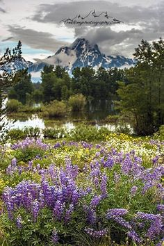 Lupine in the mountains.. Idaho