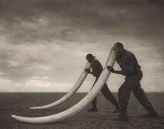 Two Rangers With Tusks Of Killed Elephant, Amboseli, Kenya by Nick Brandt.