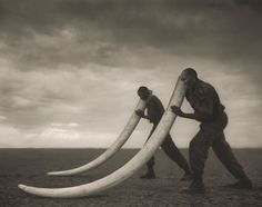 Two Rangers With Tusks Of Killed Elephant, Amboseli, Kenya by Nick Brandt.
