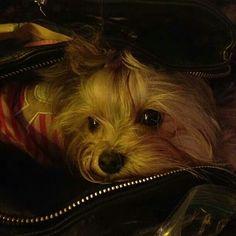 Misa Minnie, super cute little yorkie