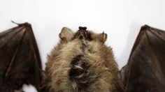 [취재파일] 박쥐는 왜 메르스 사태의 원흉이 됐을까요?