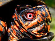 New Jersey Wildlife: Eastern box turtles can live to 100 Box Turtles, Land Turtles, Cute Turtles, Sea Turtle Pictures, Turtle Images, Cute Animal Pictures, Reptiles And Amphibians, Mammals, Zoo Animals