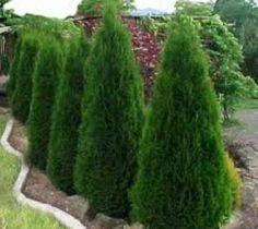 Degroots Spire Arborvitae ( Thuja )