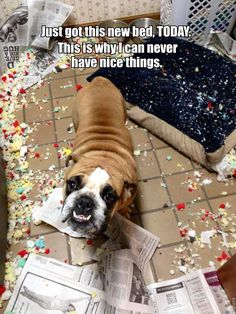 Nice things, I don't haz them.  #humor   #lol  #funnypuppies  Most funny puppies  http://buymelaughs.com/