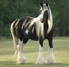 "GYPSY VANNAR HORSE:It is a small draught breed, popularly recognized for its abundant leg feathering and common black and white, or ""piebald"", coat colour, though it can be of any other colour as well."