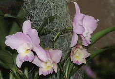 Cattleya Hybrid Flower: Laeliocattleya Angel Love 'Pinkie'