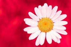 Download wallpaper flower, background, petals, Daisy, section macro in resolution 1920x1280