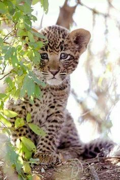 A baby leopard cub. Look at those beautiful eyes.It's in between a purple and blue XD I know, i know, animals don't have purple eyes. Leopard Cub, Baby Leopard, Leopard Kitten, Clouded Leopard, Snow Leopard, Big Cats, Cats And Kittens, Cute Cats, Nature Animals