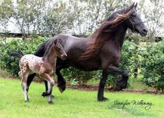 Lone Star beautiful foal he's a Gypsy Vanner/Friesian