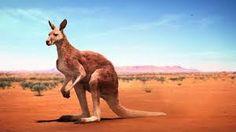 """Képtalálat a következőre: """"kenguru"""""""