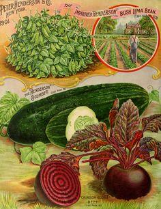 Illustration Vegetable Varieties - Beet, Cucumber and Beans circa 1901 - Peter Henderson Co.