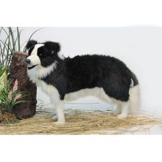 """Patch"" Border Collie"