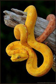 Eyelash Viper (Bothriechis schlegelii ) Costa Rica.
