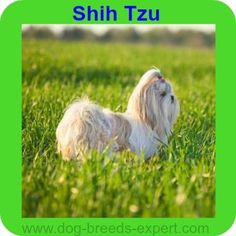 Find out if the Shih Tzu Dog Breed is the perfect match for you. Pictures, Videos and Information Best Dogs For Kids, Calm Dog Breeds, Puppy Cut, Best Dog Food, Shih Tzu Puppy, Pekingese, Crazy Dog, Beautiful Dogs, Dog Toys