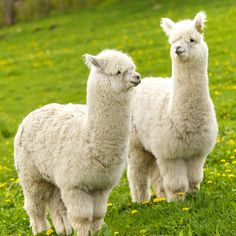 Alpacas. Are these guys friendly because I will chase one down to hug if I ever saw one. Alpacas, Fluffy Animals, Cute Baby Animals, Animals And Pets, Barnyard Animals, Nature Animals, Alpaca Pictures, Cute Animal Pictures, Alpaca Stuffed Animal