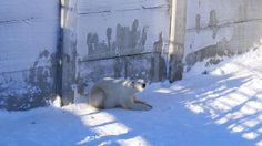 躲在影子下,看來他沒有很喜歡曬太陽!— 在 Rovaniemi, Lapland 。