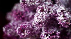 Irish Hills  Lilacs!