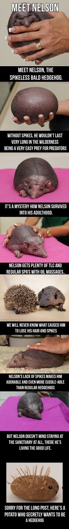 Meet Nelson, the bald hedgehog