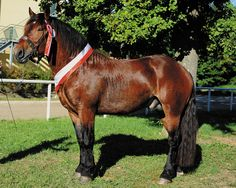 Noriker / Pinzgauer - stallion Eifel Nero XIII