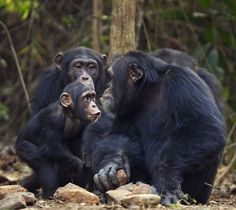 A sassy kid can come in all shapes and sizes ~ Western chimpanzees, Bossou Forest, Mont Nimba, Guinea