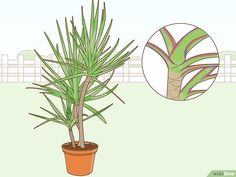 How to Care for a Madagascar Dragon Tree. The Madagascar dragon tree, or Dracaena marginata, is a reliable and low-maintenance indoor plant. If you live in a warm area with extremely mild winters, you can also keep this colorful tree. Dragon Tree Care, Dragon Tree Plant, Poisonous Plants, Edible Plants, Dracaena Marginata, Madagascar Dragon Tree, Low Maintenance Indoor Plants, Snake Plant Care, La Germination