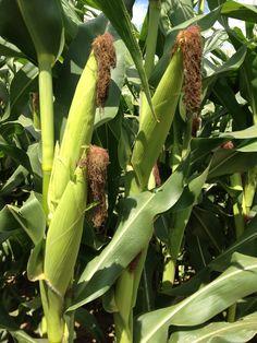 Yummmyyumm  Indiana sweet corn.