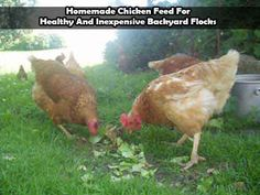 Homemade Chicken Feed For Healthy And Inexpensive Backyard Flocks - LivingGreenAndFrugally.com