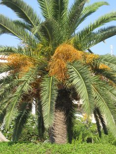 Date Palm of Ustica, Italy