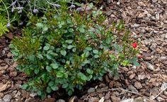 El rosal mini es una atractiva planta de flor caracterizada por su porte compacto, su capacidad de floración constante y su capacidad para vivir perfectamente en una pequeña maceta durante muchos meses. Aquí os dejamos algunos de los cuidados del rosal mini. - http://www.floresyplantas.net/cuidados-del-rosal-mini/
