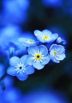 Forget-me-not by David J. Gubernick Forget-me-not by David J. Gubernick The post Forget-me-not by David J. Gubernick appeared first on Ideas Flowers. My Flower, Flower Power, Beautiful Flowers, What Is Dementia, Dementia Care, Photo Bleu, Macro Flower, Forget Me Not, Shades Of Blue