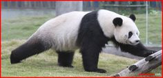 Many Chinese philosophers believe that the universe is made from two opposing forces, the Yin and Yang. The panda is one symbol of this philosophy with its contrasting black-and-white fur. The Chinese believe that the gentle nature of the panda demonstrates how the Yin and Yang bring peace and harmony when they are balanced