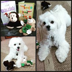 Wow this has been the best birthday week! Check out these great gifts from my best buddy Leo @littleleothemorkie! Thank you so much for making my birthday special and for being so thoughtful! I love you bud! #birthday #presents #friends #maltese #malteseofficial #maltesenation #maltese101 #maltese101 #spoiledmaltese #malteselovers #maltesecentral #malteseworld_feature #instamaltese #malteseclub #lovemymaltese #puppiesofig #instapets #petsofinstagram #dogs #dogsofinstagram #dogsofbuffalo…
