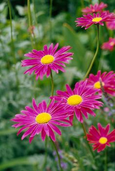 Chrysanthemum blooms last for weeks, not days, and the sheer number of flowers per plant will make you fall in love with this fall garden favorite. You can find hundreds of hardy varieties, each with different colors and bloom shapes that will add interest in your autumn landscape. #fallflowers #fallgardening #mums #bestchrysanthemumplants #bhg
