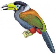 Hooded Mountain-toucan (Andigena cucullata)