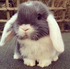 Pets When you are searching for a family pet that is not just cute, but simple to have, then look no further than a pet bunny. Lop Bunnies, Cute Baby Bunnies, Cutest Bunnies, Pet Bunny Rabbits, Lop Eared Bunny, Hunny Bunny, Cute Little Animals, Cute Funny Animals, Animal Captions