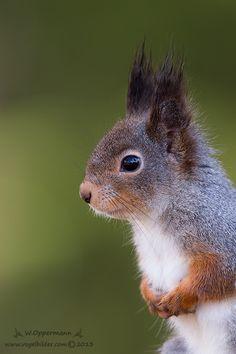Mal was haariges aus Schweden Eichhörnchen (Sciurus vulgaris) Eurasian red squirrel Schweden 2013