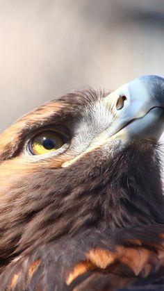 Golden eagle, bird, beak, muzzle, 720x1280 wallpaper