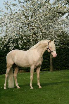 Dutch Riding Pony stallion Don Cremello du Bois